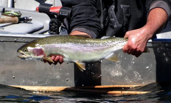 Rainbow Trout Strains