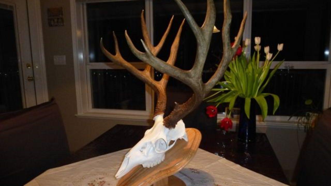 Diy Low Cost European Deer Skull Mount Do It Yourself Trophy Mount