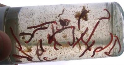 ... Chironomid larvae