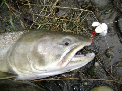 ... another fine Peace River Bull trout!
