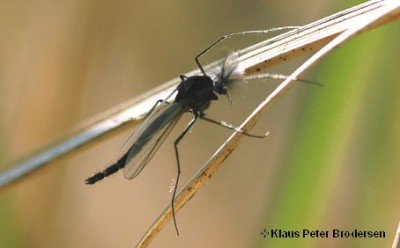 Fly Fishing Chironomids