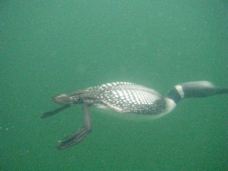 ... underwater swimming loon!