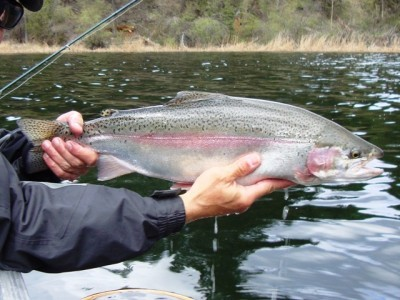 ... a nice little Red lake piggy rainbow trout!