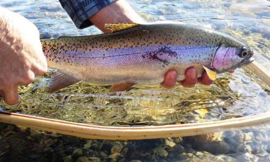 Fly Fishing from Shore - Rainbow Trout