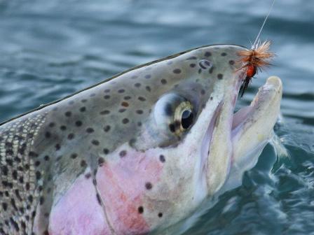 ... fly fishing Britsh Columbia | flyguys.net