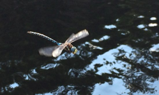 Roche Lake Park Fishing Report - Dragonfly