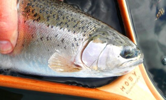 Fall Fishing Report - Rainbow in a MOBY
