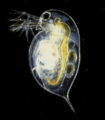 Fly Fishing Daphnia